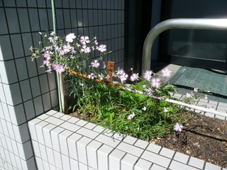 0623カワラナデシコ花壇R.jpg